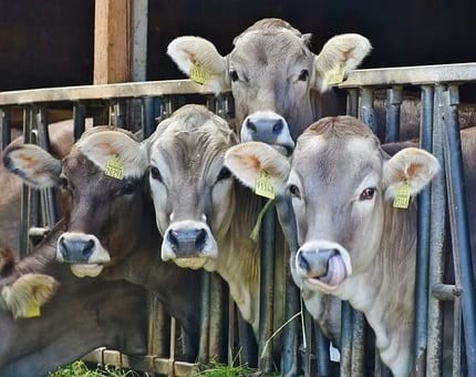 Cows and Factory Farming Reformation