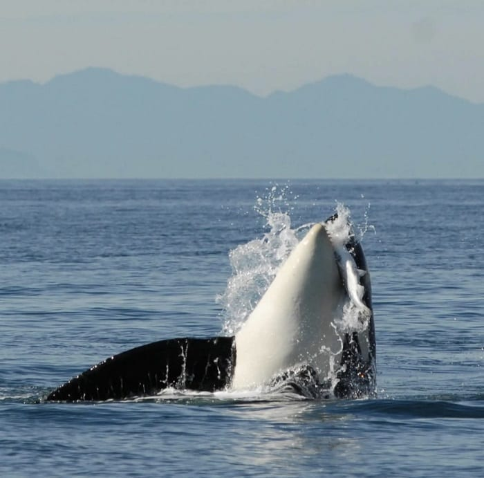 Food Contamination in Killer Whales Orca