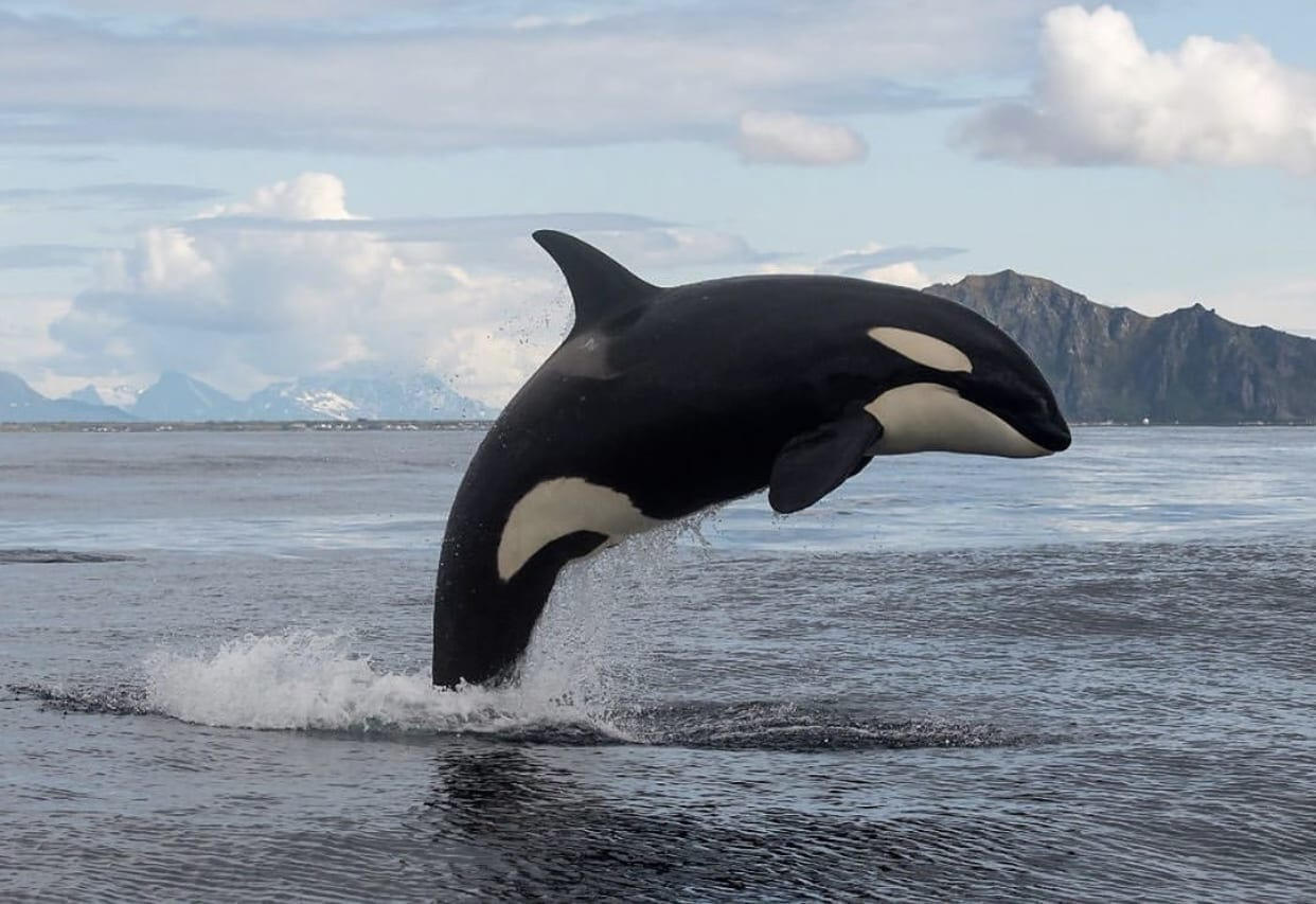 PCB Contamination in Killer Whale Orcas