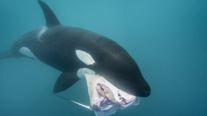 PCB Pollution Killer Whales