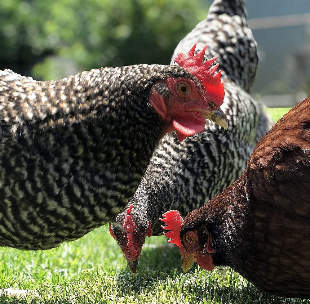 More Free-Range Egg-Laying Hens, photo by Author