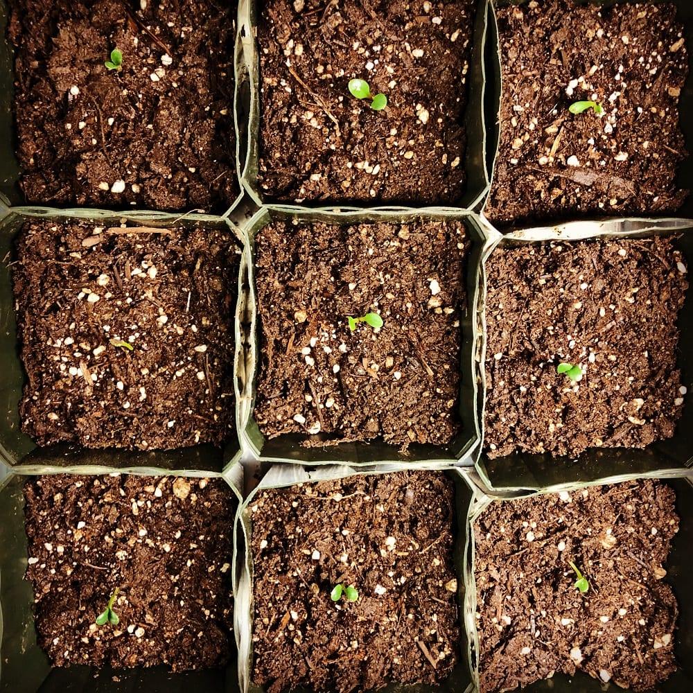 Seedlings in Healthy Soil, Photo by Michael J. Sabo